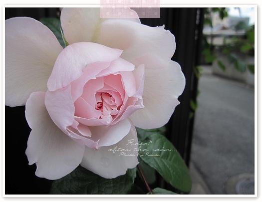 雨上がりに、しっとり咲くバラ